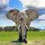 elefánt · sétál · szavanna · afrikai · elefánt · Kenya · Afrika - stock fotó © byrdyak