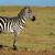 Zebra · Park · Afrika · Kenia · abstrakten · Natur - stock foto © byrdyak