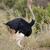 african ostrich struthio camelus stock photo © byrdyak
