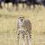 vad · afrikai · gepárd · gyönyörű · emlős · állat - stock fotó © byrdyak