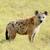 hyena stock photo © byrdyak