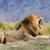 lion stock photo © byrdyak