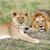 oroszlán · zárt · park · Kenya · Afrika · macska - stock fotó © byrdyak
