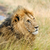 sudoeste · africano · leão · adulto · masculino · cativeiro - foto stock © byrdyak