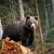 big bear in forest stock photo © byrdyak