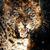 leopard · ognia · portret · ciemne · twarz - zdjęcia stock © byrdyak