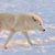 Арктика · белый · волка · лице · лес - Сток-фото © byrdyak