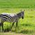 Zebra · Park · Afrika · Natur · Tier · african - stock foto © byrdyak