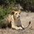 лев · голову · выстрел · ночь · ЮАР - Сток-фото © byrdyak