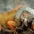 イグアナ · 肖像 · マクロ · ショット · 頭 · 森林 - ストックフォト © byrdyak