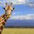 zsiráf · szavanna · szafari · Kenya · Afrika · kék - stock fotó © byrdyak