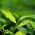 groene · thee · kiem · vers · bladeren · thee · natuur - stockfoto © byrdyak