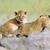 sevimli · aslan · dünya · geri · park - stok fotoğraf © byrdyak