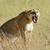 лев · парка · Кения · Африка · кошки - Сток-фото © byrdyak