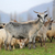 goat in meadow stock photo © byrdyak
