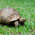 turtle in grass stock photo © byrdyak