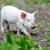 kismalac · farm · tavasz · zöld · fű · természet · háttér - stock fotó © byrdyak