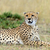 África · guepardo · retrato · hermosa · mamífero - foto stock © byrdyak