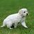 羊飼い · 白 · 犬 · 動物 - ストックフォト © byrdyak