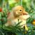 sevimli · ördek · yavrusu · sarı · ördek · yalıtılmış · beyaz - stok fotoğraf © byrdyak