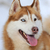 siberian husky dog portrait stock photo © byrdyak