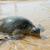 úszik · teknős · egy · tengeri · vízalatti · akvárium - stock fotó © byrdyak