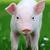 jovem · porco · grama · primavera · grama · verde · verão - foto stock © byrdyak