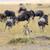 cheetah pursuit a wildebeest stock photo © byrdyak