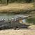 cocodrilo · grande · parque · Sri · Lanka · agua · lago - foto stock © byrdyak