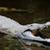 krokodil · nyitva · állkapocs - stock fotó © byrdyak