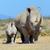 african white rhino stock photo © byrdyak