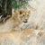 fechar · leão · parque · Quênia · África · gato - foto stock © byrdyak