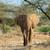 elefánt · család · sétál · szavanna · afrikai · elefánt · baba - stock fotó © byrdyak