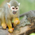 close up of a common squirrel monkey stock photo © byrdyak