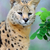 serval cat felis serval stock photo © byrdyak