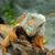 leguaan · boom · kruipen · poseren · dier · mannelijke - stockfoto © byrdyak