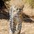 primo · piano · Leopard · pelliccia · interessante · texture · moda - foto d'archivio © byrdyak