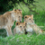 aslan · aile · park · Afrika · grup · hayvan - stok fotoğraf © byrdyak