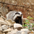 badger near its burrow in the forest stock photo © byrdyak