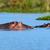 гиппопотам · зевать · африканских · озеро · воды · биологии - Сток-фото © byrdyak