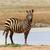 zebra in national park of kenya stock photo © byrdyak