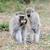 monkey stock photo © byrdyak