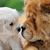 baby swiss shepherd and brown chow chow stock photo © byrdyak