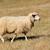 schapen · rij · drie · gepeupel · alle · kijken - stockfoto © byrdyak