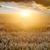 закат · области · лет · ушки · пшеницы · солнце - Сток-фото © byrdyak