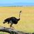 avestruz · fazenda · aves · belo · naturalismo - foto stock © byrdyak