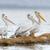 pelican stock photo © byrdyak