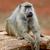 baboon stock photo © byrdyak