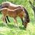 лошади · кобыла · жеребенок · молодые - Сток-фото © byrdyak