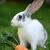 rabino · cenoura · pequeno · isolado · branco - foto stock © byrdyak
